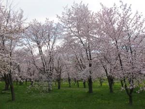 桜キトウシ0520