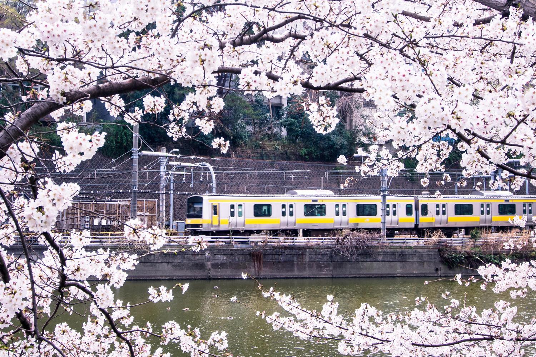 賞櫻季!日本的お花見文化
